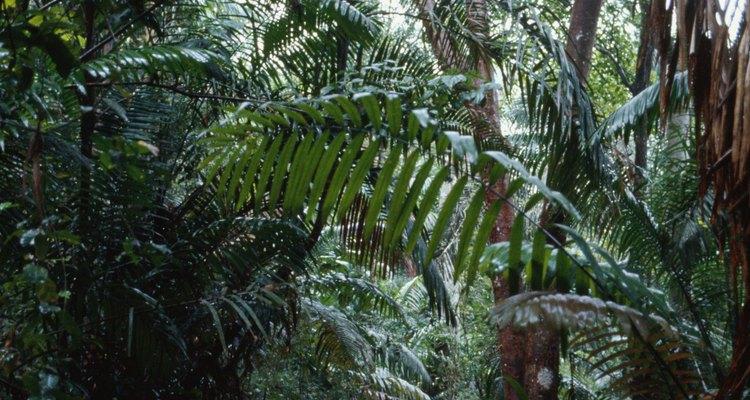 Los bosques tropicales en donde vive la tarántula azul colbalto están disminuyendo.