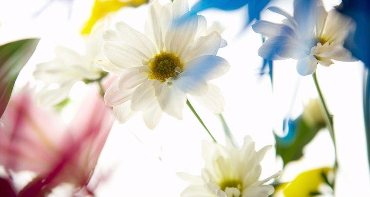 Las margaritas perennes son miembros de la familia Asteraceae.