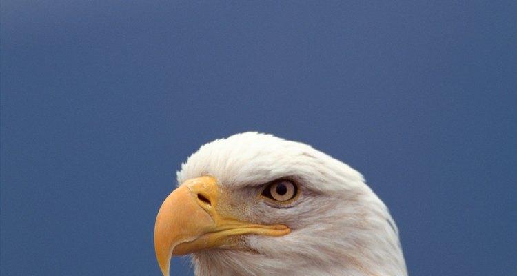 A águia é um poderoso representante do ar