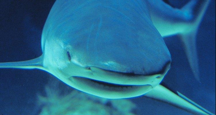 La mayoría de los tiburones viven en hábitats de agua salada.