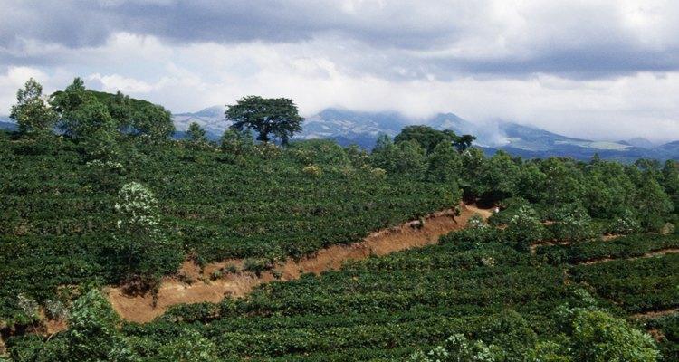Cobán se localiza en medio de una de las más grandes áreas productoras de café de Centroamérica.