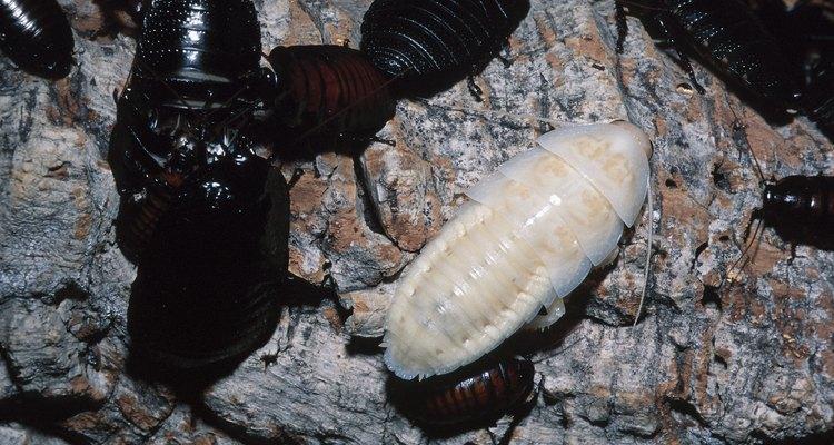 Las larvas son formas jóvenes de escarabajos y otros insectos.