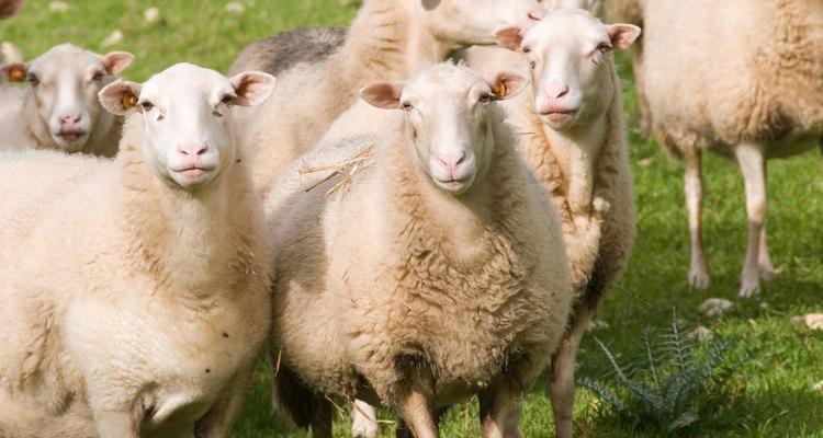 Las barras para ovejas se utilizan cuando el pastoreo no es óptimo.