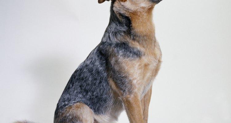 Debido a que fueron criados como perros de trabajo, capaz de reunir el ganado vacuno y ovino, los cachorros y adultos blue heeler son enérgicos y atléticos.