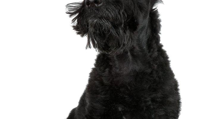 Os terrier escoceses eram os favoritos do Rei James VI, da Escócia
