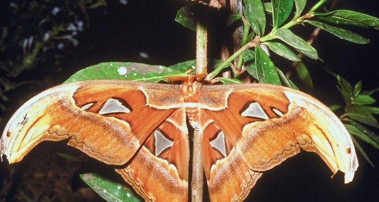 Utiliza agua azucarada para atraer mariposas.