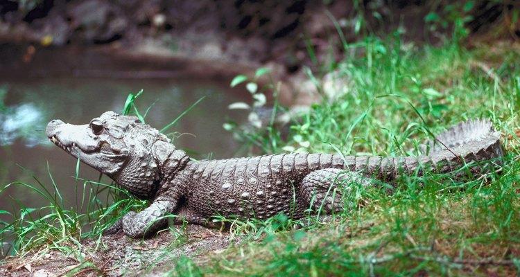 A parte de cima do focinho de um crocodilo inspirou o nome dos calçados Crocs
