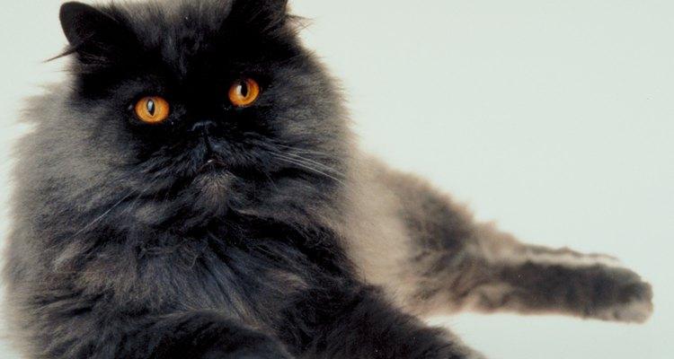 Limite as atividades de seu gato enquanto a incisão é curada