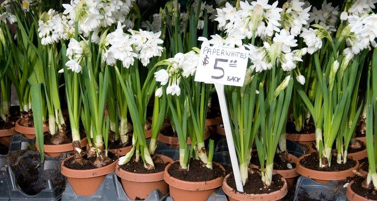 Bulbos de narcisos blancos y fragantes floreciendo en pequeñas macetas.