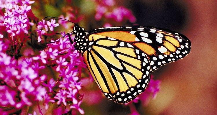 A borboleta deposita seus ovos em plantas adequadas para desenvolvê-los