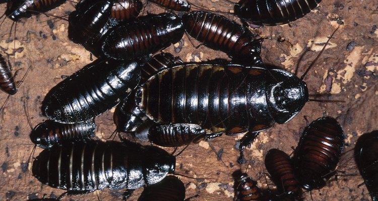 Las cucarachas son esenciales para el medio ambiente como carroñeros y descomponedores.