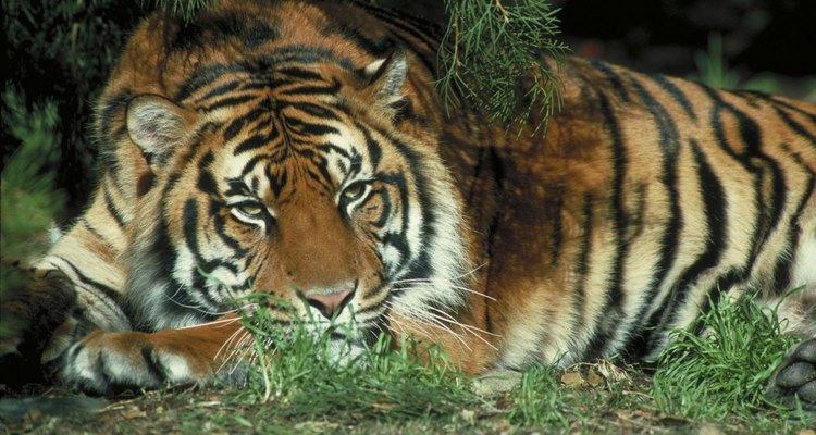 Tigres estão entre os carnívoros terrestres mais pesados