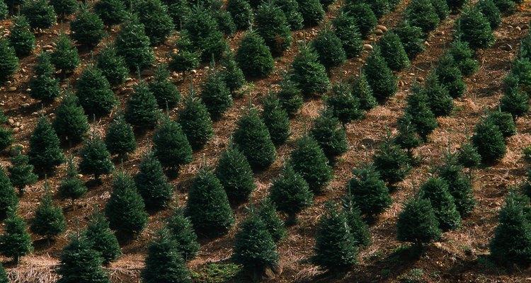 El abeto de douglas es una especie de árbol única, que se cultiva principalmente en la región noroeste del Pacífico.