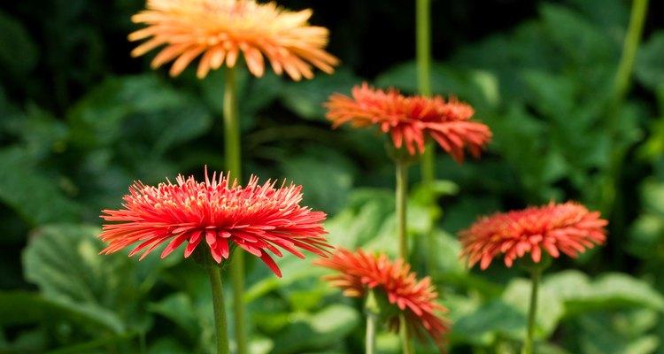 Imagen de las flores que brotan de la Margarita Gerbera