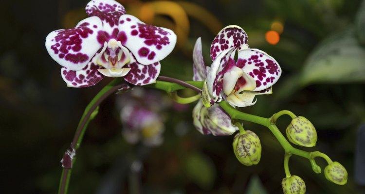 Essa orquídea tropical é uma das mais de 18 mil diferentes espécies identificadas