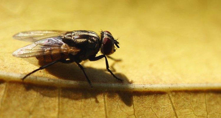 Las moscas caseras esparcen enfermedades contaminando los alimentos.
