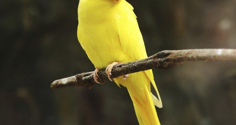 Una cotorra de Kramer hembra amarilla posada sobre una rama.