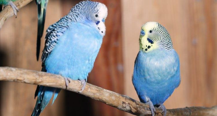 Um casal de periquitos australianos