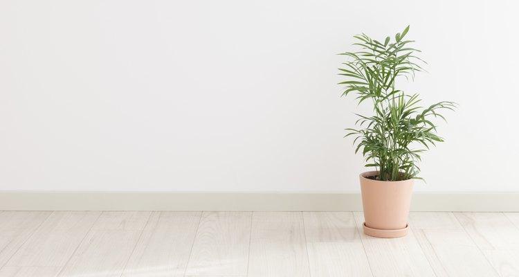 Una palmera kentia en el suelo de una casa.