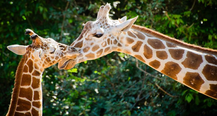 Giraffe female with her young at the zoo