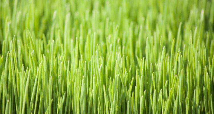 El germen de trigo se utiliza para producir suplementos de clorofila.