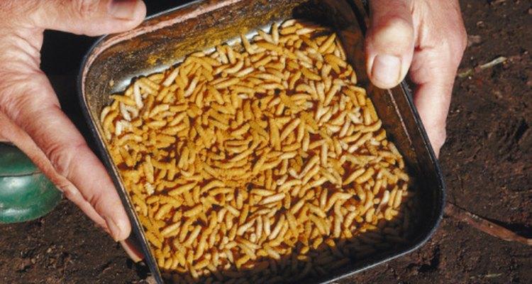 Many anglers use maggots as bait.