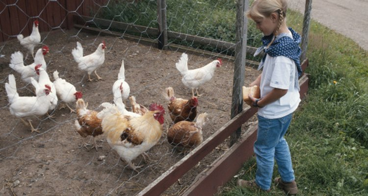 Keeping chickens is an enjoyable family hobby.