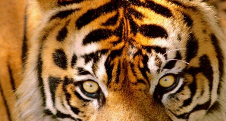 Los tigres traen a la vida el naranja y el negro.