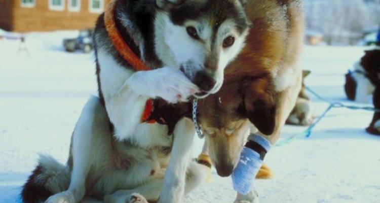 Los perros en trineo pueden ayudarte a proporcionar el transporte durante las vacaciones.
