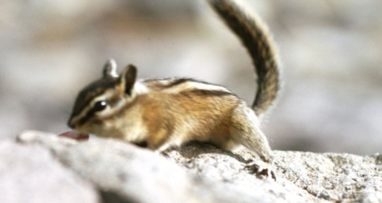 Learn how to build a cage for your pet chipmunk.
