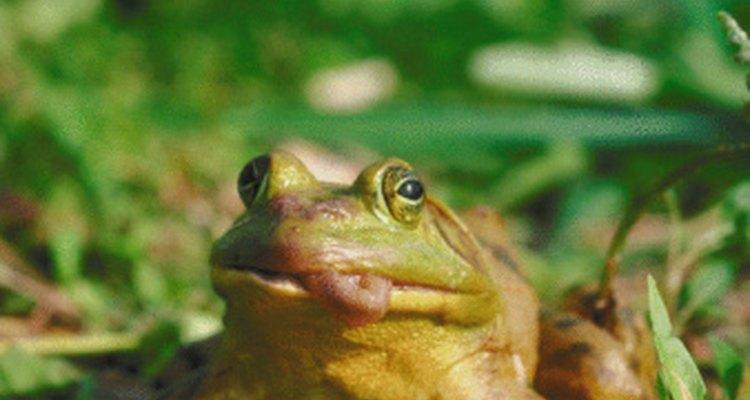 Las ranas son vertebrados y también anfibios.