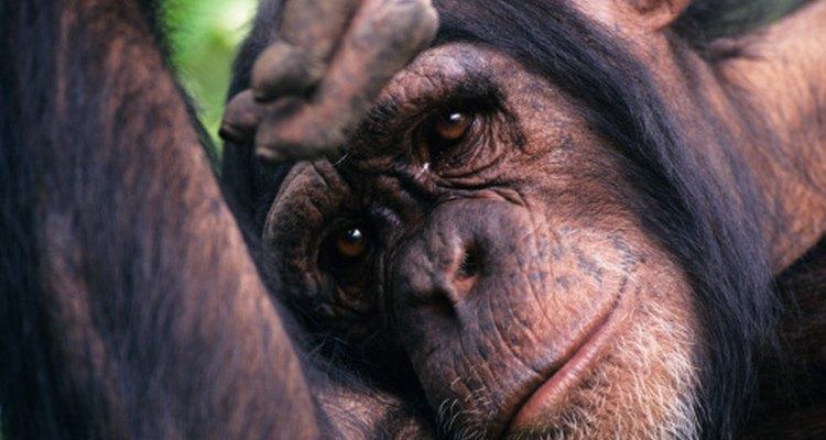 ¿Este chimpancé se siente triste o estamos proyectando nuestras propias emociones?