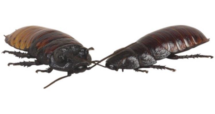 El ácido bórico es un exterminador de uso común de cucarachas.