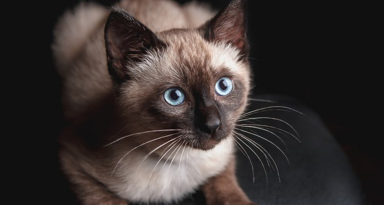 Acredita-se que o gato siamês tenha surgido no sudoeste asiático, na região da atual Tailândia