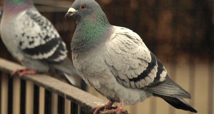 A veces resulta difícil deshacerse de las palomas.