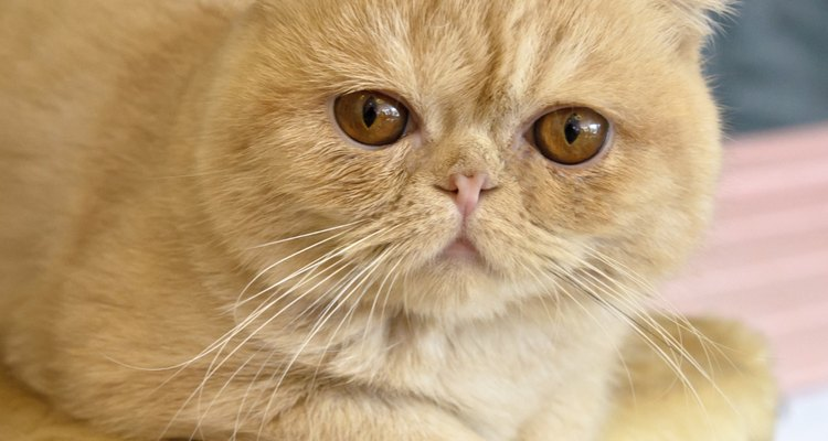 O gato exótico é uma raça desenvolvida para ser uma versão de pelos curtos do gato persa