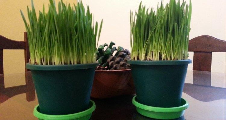Tus otras plantas se mantendrán a salvo si tienes macetas de hierba gatera.