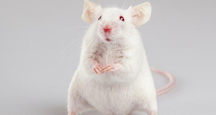 Os ratos do campo são pequenos visitantes que podem causar grandes problemas