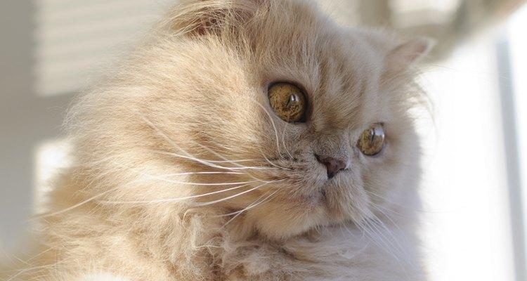 O gato persa moderno tem origem no século 19 e é uma combinação do antigo gato persa com animais da raça angorá