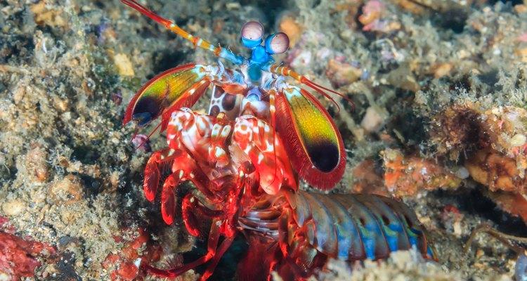 O camarão mantis tem entre 15 a 30 cm de comprimento