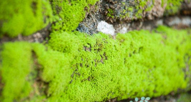 Alguns musgos crescem bem entre pedras lisas