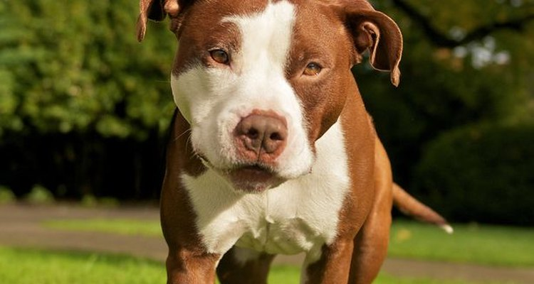 Un pitbull en un ambiente sano, con buena jerarquía y entrenamiento adecuado, es el mejor de los perros.