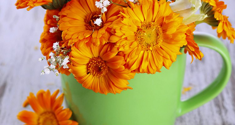 Além de lindas flores, a calêndula também possui propriedades medicinais