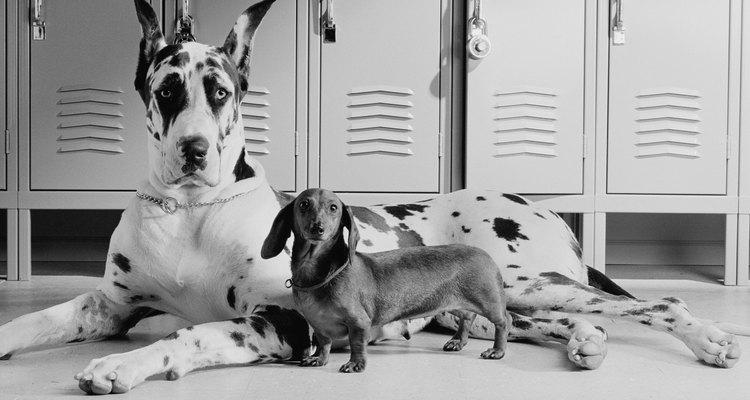 Perro gigante.