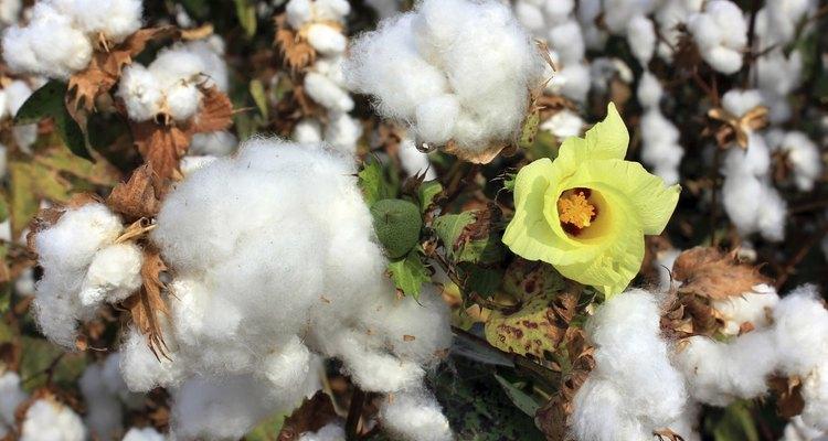 Cultive algodão em ambientes fechados