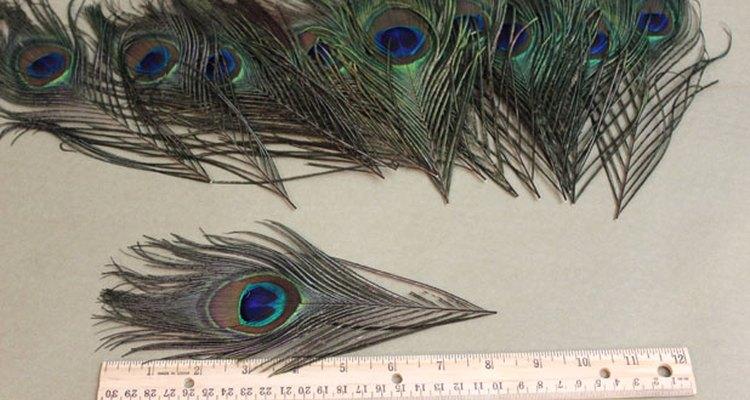 Corta las plumas de pavo real para que queden de 8 pulgadas (20 cm) de largo.