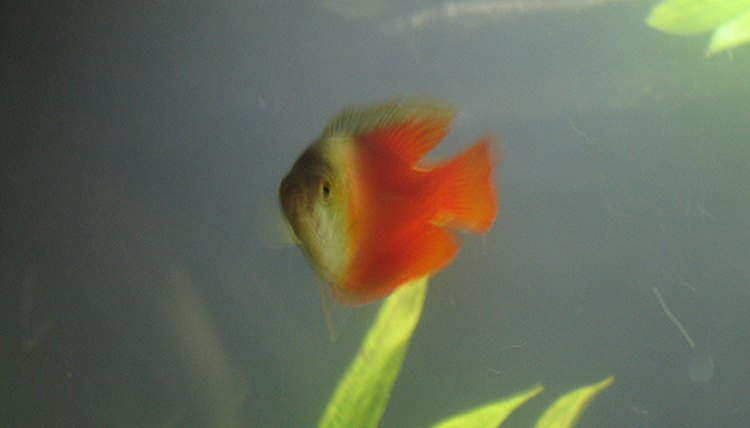 How Long Is the Platy Birthing Process? | Animals - mom me