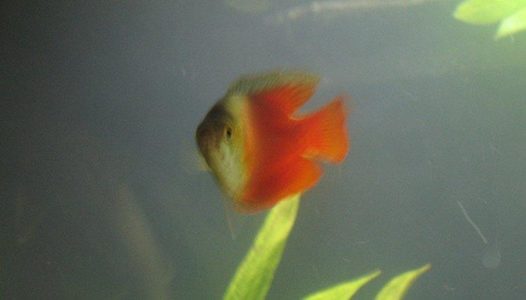 schwangere-platy-fischbilder-freie