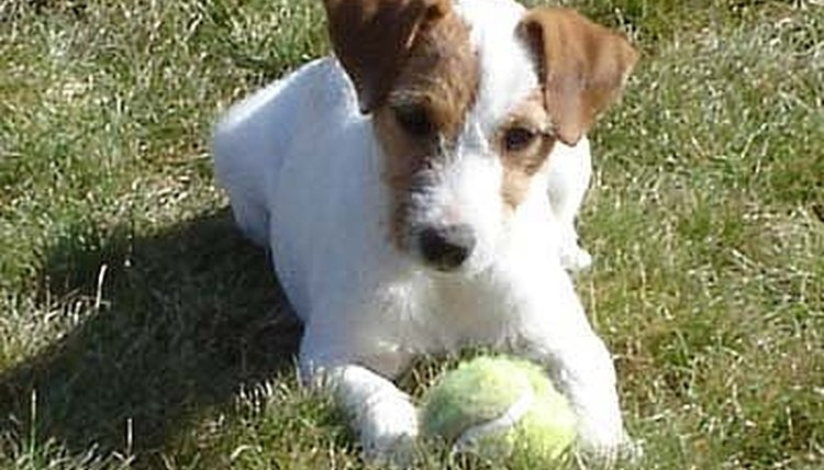 How To Strip A Jack Russell Terrier S Coat Animals Mom Me