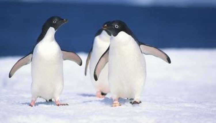 Male emperor penguins must incubate the eggs.
